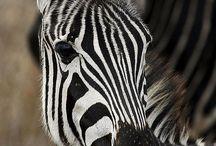 muluju zebry