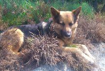 German Shepards: My dogs: Rusty & Islay / My dogs