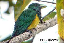 São Tomé & Príncipe Birds