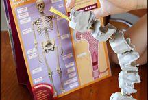 Human Body/Skeleton