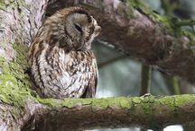 Uilen ( Owl's )