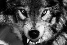 wolfox animals