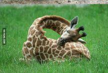 ● Giraffe