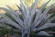 Cold Hardy Agave