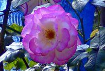 Roses, Flowers and Gardens / Roses, Flowers and Gardens