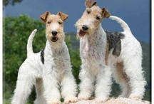 Aredale TERRIER
