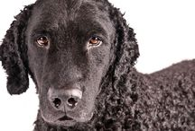 Curly Coated Retriever / Distinguished by its coat of small, tight, water-resistant, crisp curls, the Curly-Coated Retriever is a strong, robust and agile breed. Developed to be a multi-purpose hunting retriever, the Curly will work for as long as there is work to be done, retrieving game in the heaviest of cover and iciest of waters. The breed's curly coat can be black or liver in color.
