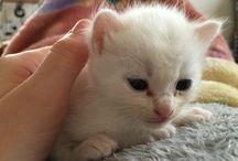うちの子 / 我が家のペット、白猫のマルです。2016年4月生まれの捨て猫ちゃんです。立派に育ちすぎました・・まるまるです。