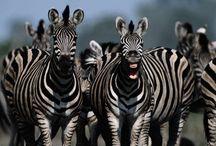 MFW - Zebra
