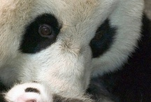 Panda obsession