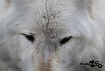 Wolves / The Zoo's grey wolves live in the Arctic Encounter, complete with a replica cabin that offers comfortable indoor viewing.  www.toledozoo.org