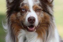 favorite (sheep)dogs / Kedvenc (juhász)kutyák