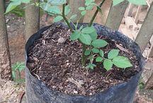Wina's Garden (Rose Breeding Flowers)