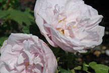 Hardy roses zone 4