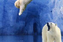 Isbjørne/brunbjørne
