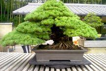 ☾Bonsai۴ / Os conceitos ligados ao bonsai e suas técnicas de cultivo.