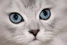 Persians Cats: / Persians Cats: A collection of beautiful persians cats and persian kittens: both Golden Persian Cats and Silver Persian Cats