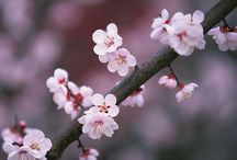 cherry blossoms / by Ariane Criger