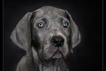 Great Danes / by Sydney DeHaas