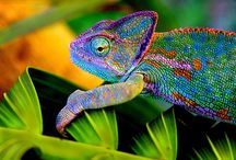 Chameleon/Me / Someone told me I was one of these; kinda cute, right? / by Valenchia Hershberger