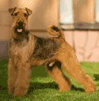 Airedale Terrier / International Dog's Personal Websites Catalogue