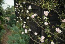 plants: roses