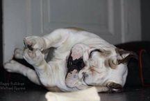 Bulldogi