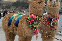 Drama-Llama / by Heather Barron Armstrong