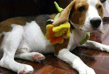Genius the Beagle