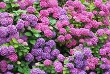 Hydrangeas / How to colour