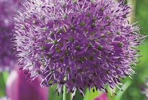 """Alliums / Believe it or not Alliums come from the onion family, but these particular flowers have nothing to do with the onions you can find in the supermarket. On the contrary, these beautiful flowers are considered the """"ornamental-onions"""" of their family, and can create wonderful garden combinations. Allium bulbs are one of the easiest bulbs to grow, and also one of the longer-lasting type of flowers. This versatile flower comes in a variety of colors, heights and flower forms."""