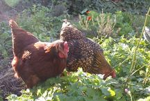 Chickens - Backyard pets
