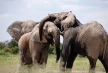 Safari inspiraties / Inspiratie opdoen voor een toffe safari in 1 van de safari landen die door Scenic Travel worden aangeboden.
