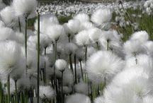 Cotton fields / by Lois Pressler
