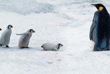 Emperor penguin adult and chicks, Snow Hill Island, Antarctica #HeathrowGatwickCars.com