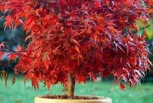 YARD: JAP MAPLE