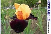 irisi viorel