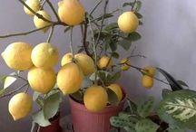 saksıda limon