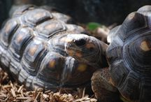 DeeJay and Junior / Red footed tortoises that love to party and read science fiction