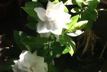 Gardenia Jewelry / Sweet smelling beautiful gardenia flowers.