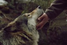 Wolves-gorgeous creatures / by Katie Corkill
