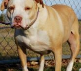 Adoptables / Pit Bulls and Pit Bull mixes available for adoption