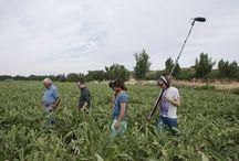 """Visita de TVE 1 a la huerta de Aranjuez / El programa """"Aquí la tierra"""" de TVE 1 nos visitó y tuvo la oportunidad de conocer directamente la fresa, fresón espárrago y la alcachofa de Aranjuez"""