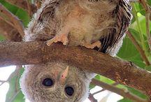 Uhuu, uv eller unge / Ugglor, owl, pöllöjä