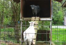 Goats / by Harley Pierce