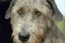 Wolf hound / Perros