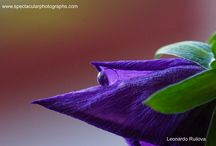 Water drops on purple flowers / Rain drops, water drops, nature, macro photography