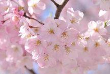 Le Japon au printemps / Le printemps est la saison préférée des Japonais car c'est la période où fleurissent les sakura, les fleurs de cerisiers. Le hanami est un rite de partage où l'on va admirer les cerisiers en fleurs tout en pique-niquant.