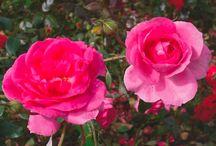 rosor att beskära