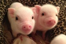 PIGS / Pigs are cute! / by Tina Rae